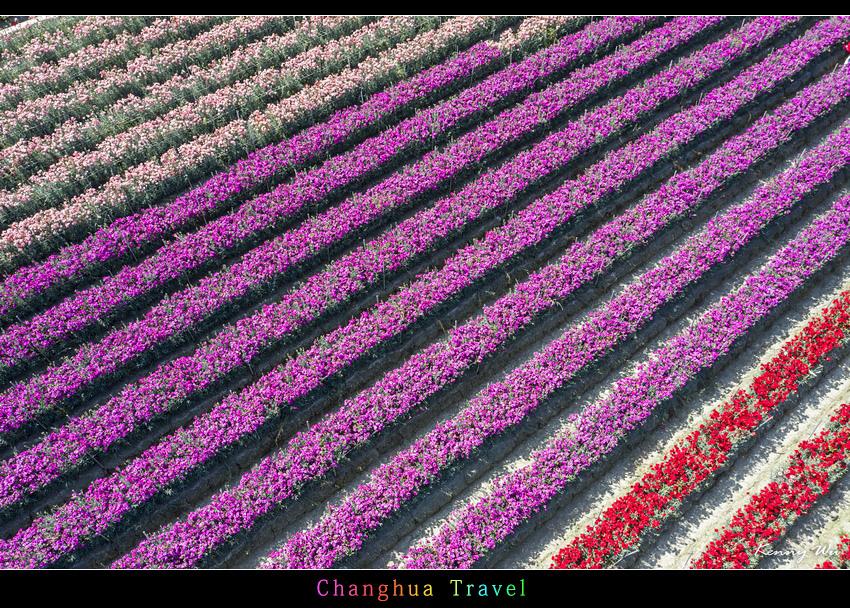 carnation50.jpg