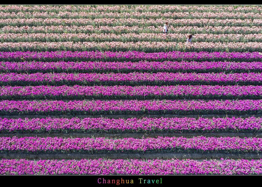 carnation51.jpg
