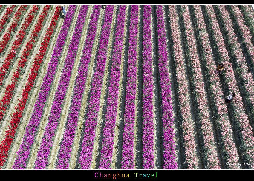 carnation54.jpg