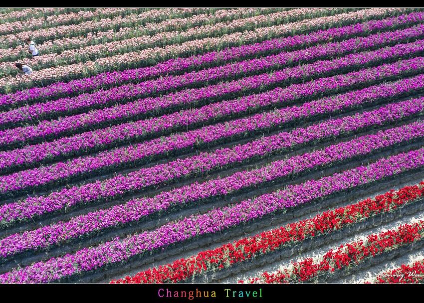 carnation56.jpg