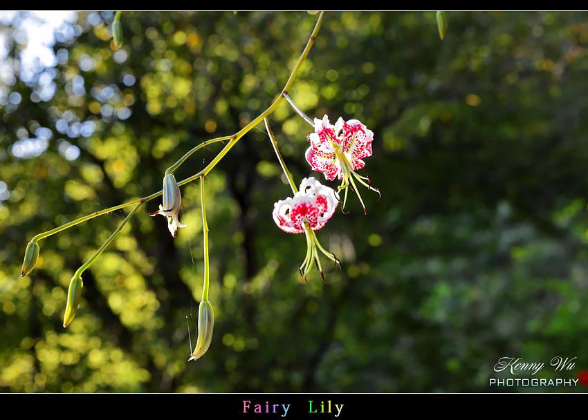fairyli12.jpg