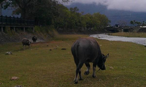 牛兒放風1