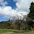 阿里山上最大棵最美的櫻花樹....