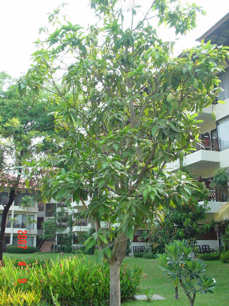 11 Hotel's garden(mango tree).JPG