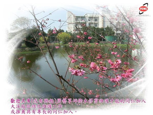 櫻花 06-1.jpg