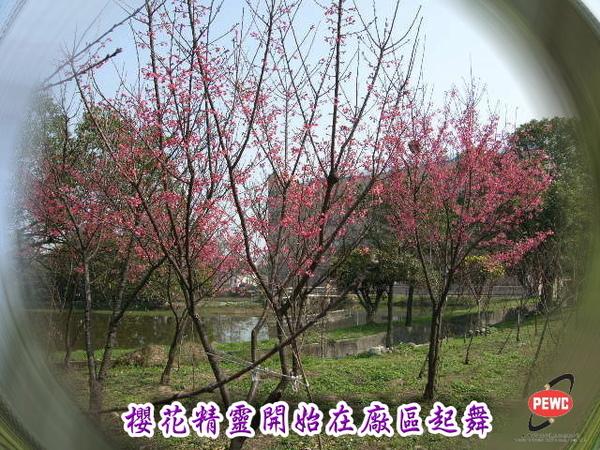 櫻花 02-1.jpg