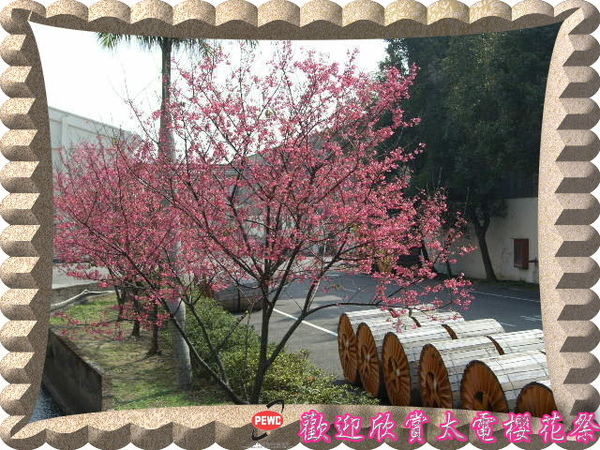 櫻花 05-1.jpg