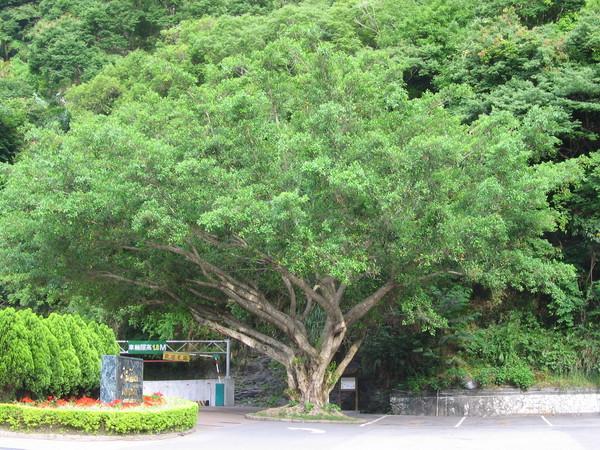 50酒店前的大樹