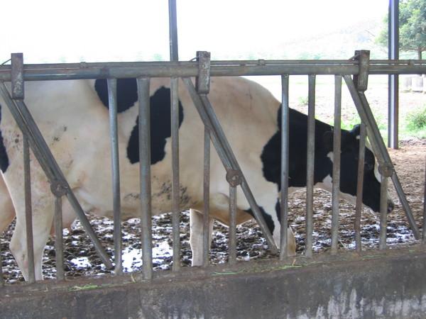 80乳牛的牛排會有乳香嗎