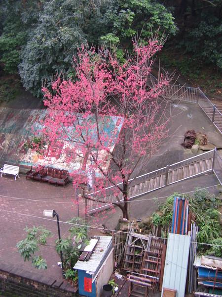 家樓下的櫻花樹