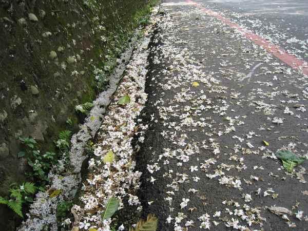 18滿地的油桐花