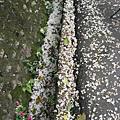 19油桐花鋪滿整個水溝