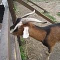 24這邊還有養羊