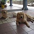 67兩隻很熱的狗.jpg