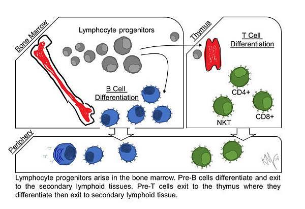 免疫系統(immune system)】T細胞及B細胞擔任人體內防衛的作戰部隊@ KK ...