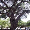 040_孔廟前的大樹1