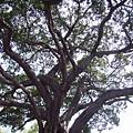 041_孔廟前的大樹2