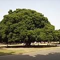 077_成大最有名的榕園1