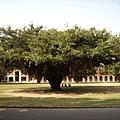 078_成大最有名的榕園2