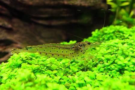04.大和藻蝦