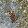 茂溪小螃蟹