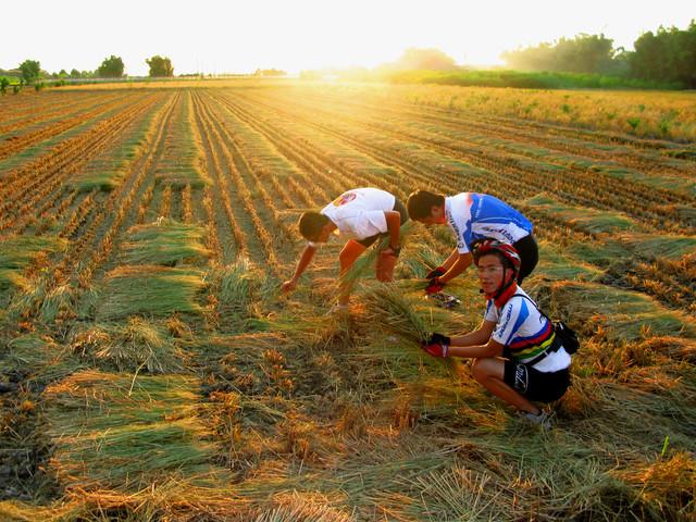 收割後的稻田