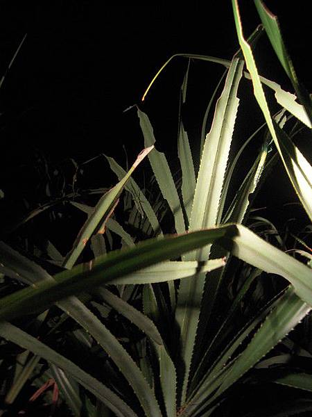 大頭竹節蟲