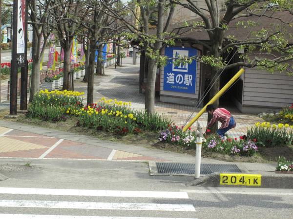 沒去到鬱金香公園 就看看路邊的花吧.jpg