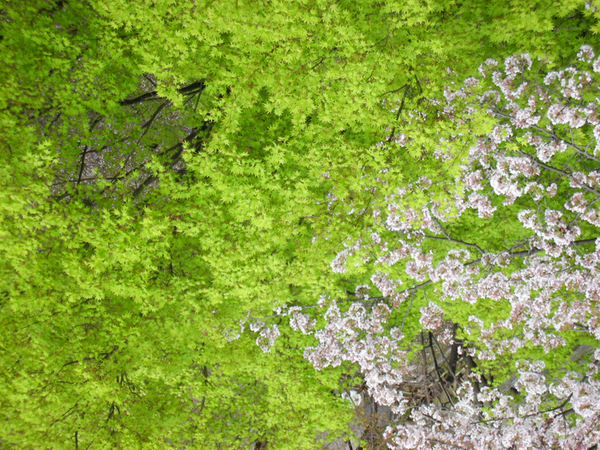 鮮綠的楓葉.jpg