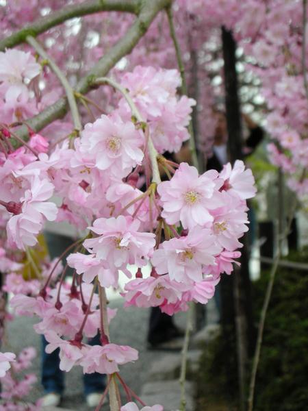 感謝神給我各好天氣 還有沒想到的盛開櫻花.jpg