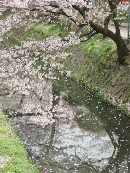 水面上都是櫻花瓣.jpg