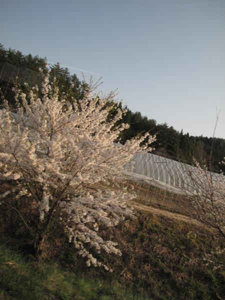 沿路閒著也是閒著 就拍櫻花吧.jpg