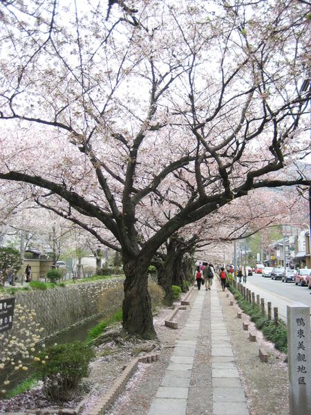 整條街的櫻花.jpg