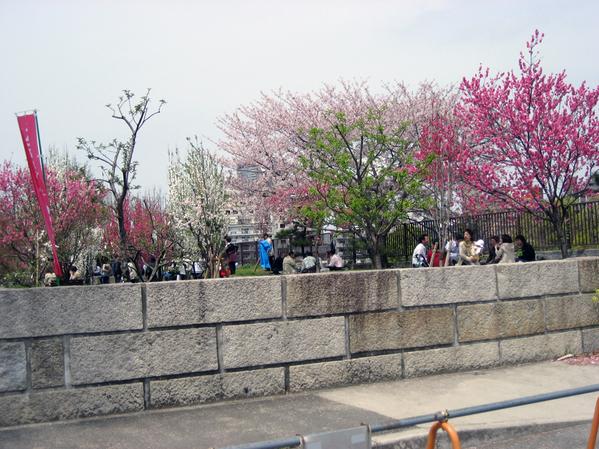 在櫻花樹下野餐囉.jpg