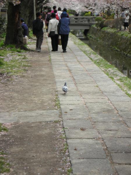 到處都是不怕人的鴿子.jpg
