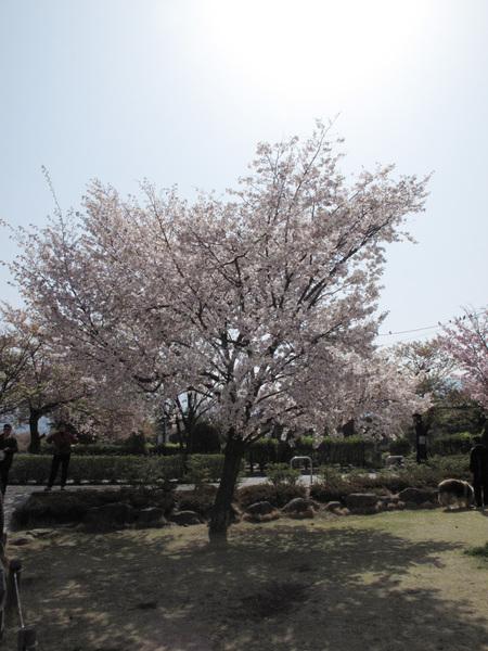 看到櫻花還是要拍一下.jpg