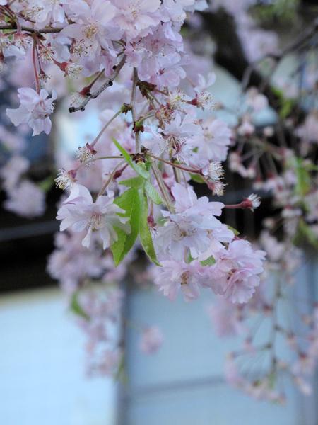 就是為了拍櫻花....jpg