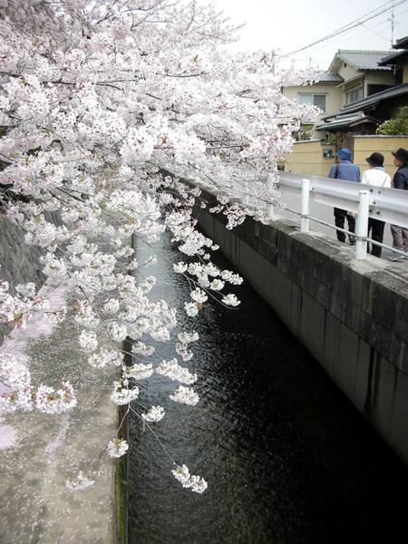 美麗的櫻花阿~.jpg