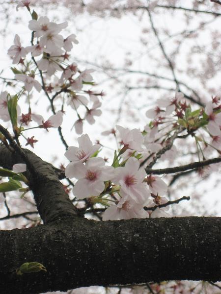 櫻花近拍.jpg
