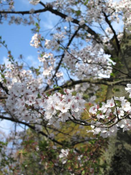 一到兼六園 門口的櫻花已盛開迎接.jpg