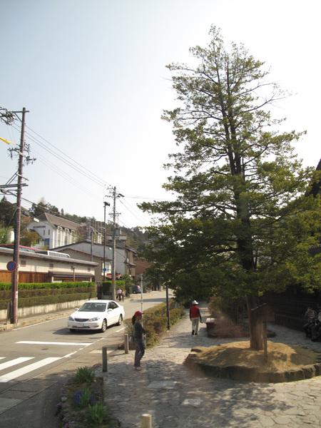 有名的一位樹.jpg
