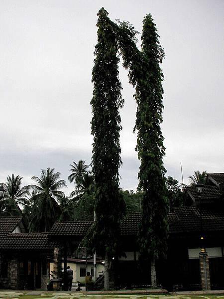 邦喀島上的荷蘭砲台旁邊很高的樹