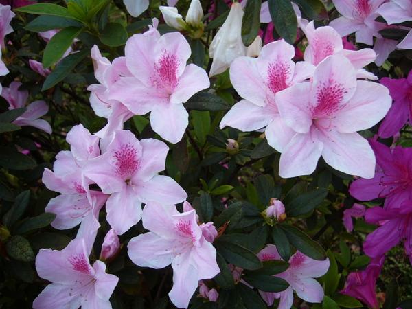 據說明天是台大的杜鵑花季