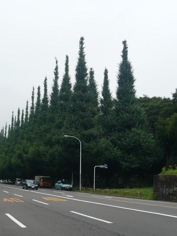 走了很久很久才看到的神宮前參道,整排都是銀杏樹