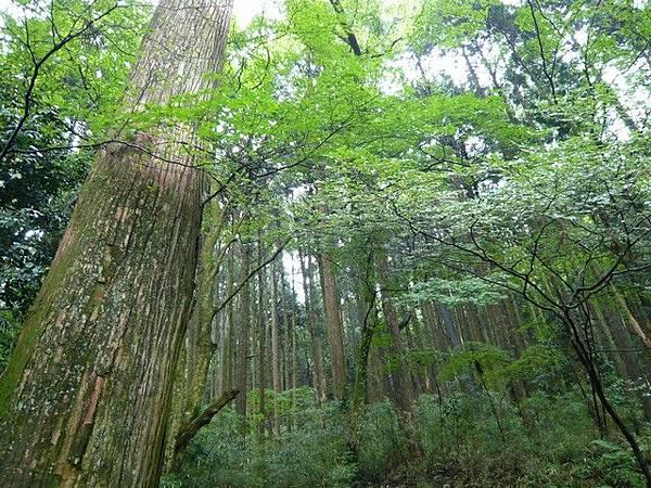 高聳參天的杉木