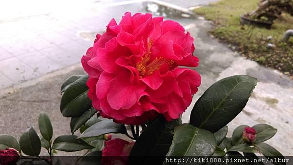 紅色山茶花
