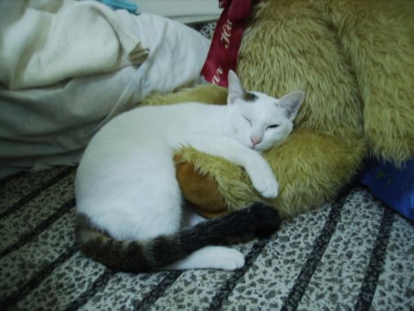 貓咪睡熊熊