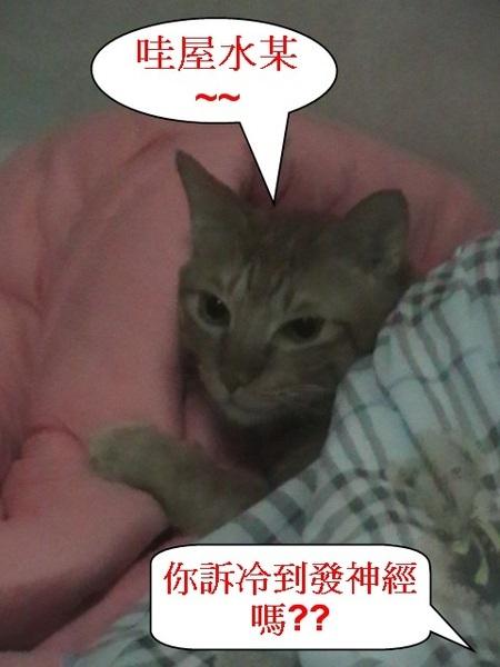 2 天冷ㄅ貓咪躲被子.jpg