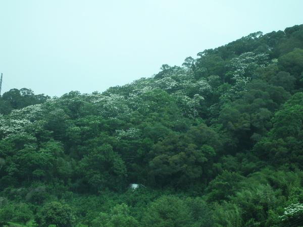 桐花已經開滿山