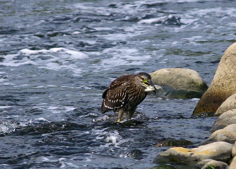 19白鷺鷥捕魚